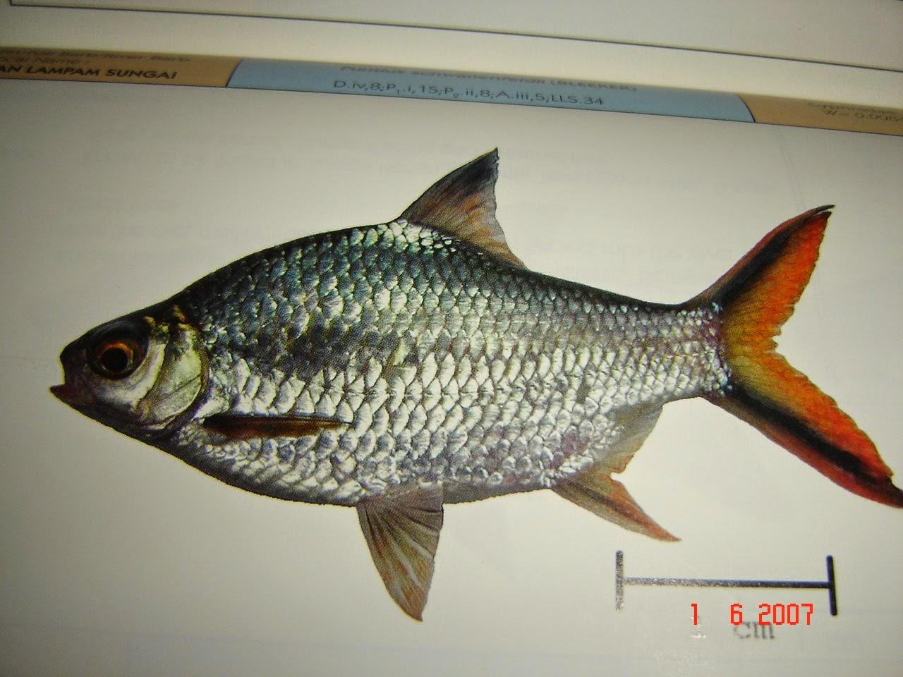 Ikan Hias Tawar