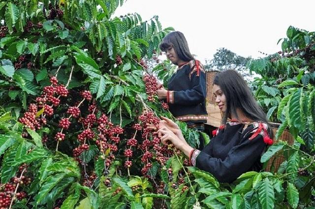 Giá cà phê hôm nay 18/7: Dao động trong khoảng 35.300 - 37.700 đồng/kg