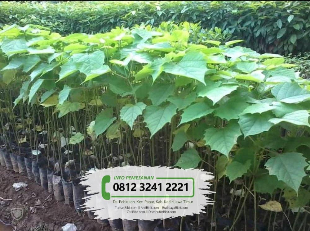 Jual Bibit & Benih Biji Pohon Jati Putih / Gamelina