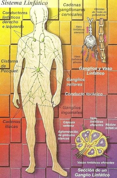 Imagen del Sistema Linfático y las partes que lo conforman