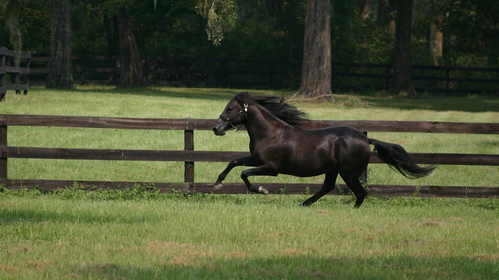 Cavalos Negros