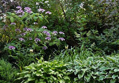 Samthortensie, Hydrangea aspera Macrophylla, Lieblingsgehölze