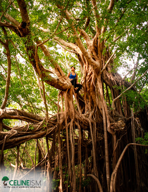balite trees in the philippines