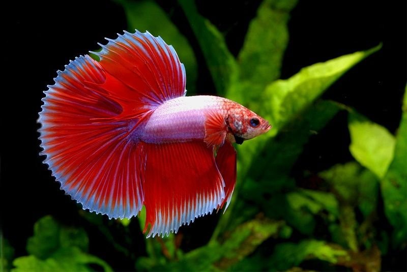 Image The Basic Facts of Can a Betta Fish Live in a Bowl