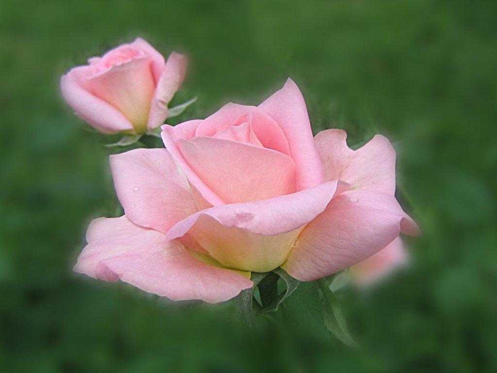 teraka randriantsoa langage des roses l 39 interpr tation des couleurs. Black Bedroom Furniture Sets. Home Design Ideas