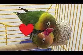 Racikan Pakan Lovebird Agar Cepat Birahi dan Bertelur