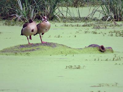 Birds in Uganda: Egyptian Geese on a hippo