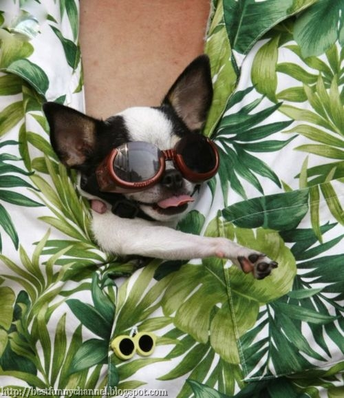 Small dog in sunglasses.