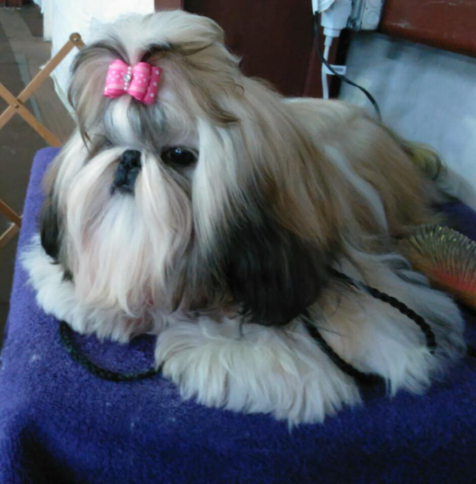 Devalon Shih Tzu Breeders Puppies For Sale Florida