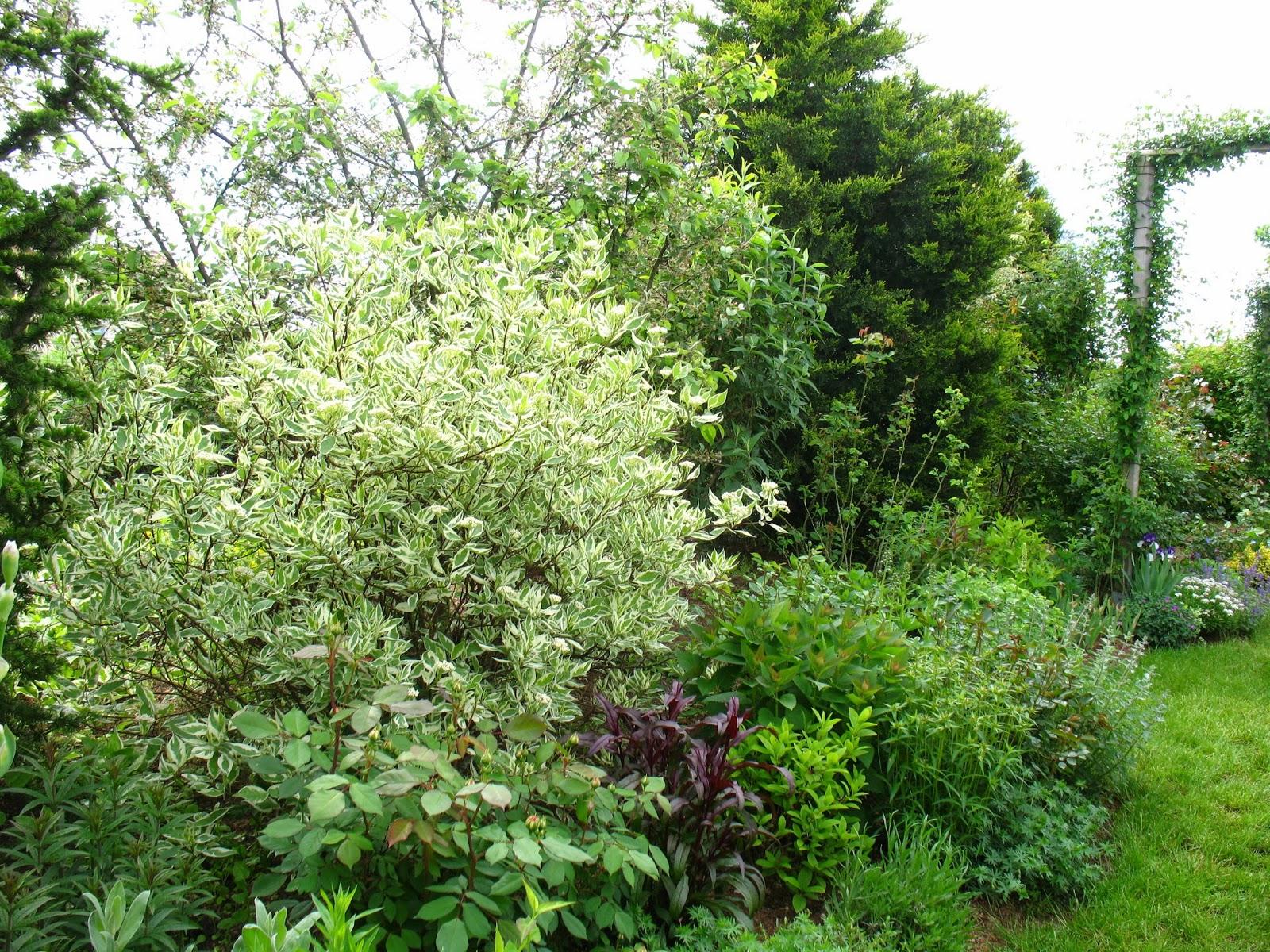 Roses du jardin ch neland cornus alba argent omarginata for Cornus alba