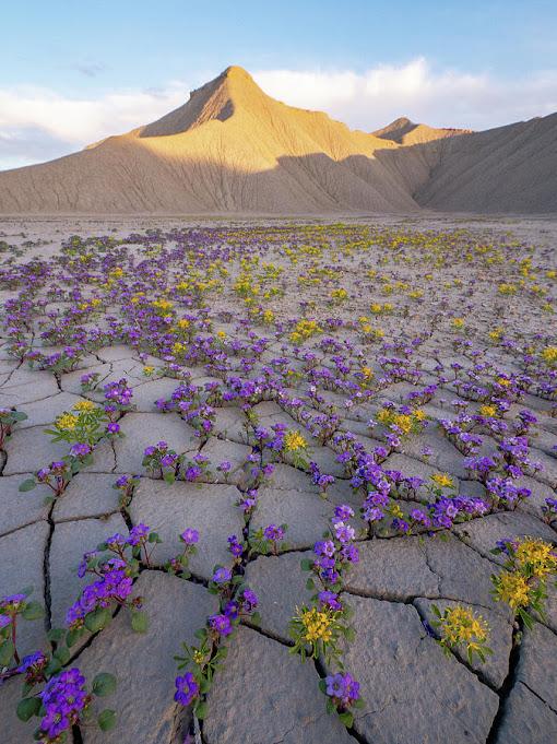flores amarillas y magentas crecen en el suelo del desierto
