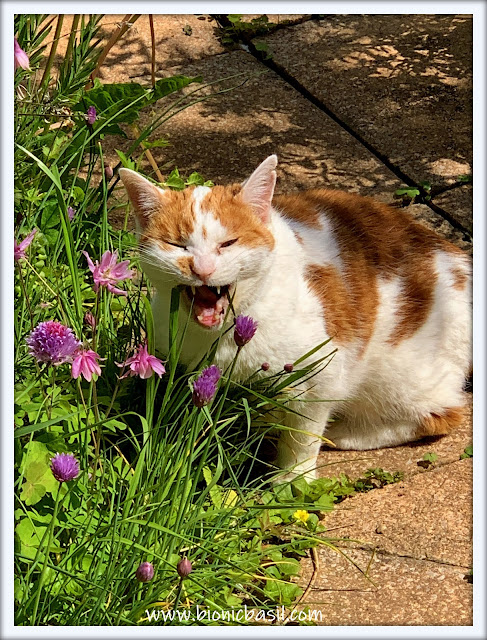 Book Reviews with Amber #169 ©BionicBasil® Eating Cat Grass with Amber