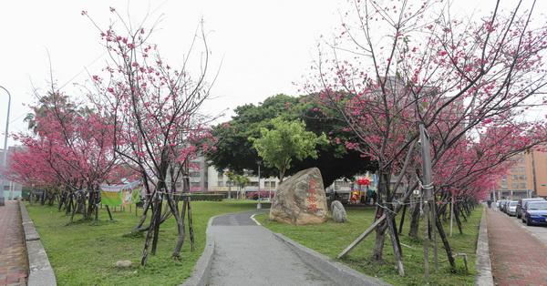 台中北區|崇德榕園|公園周圍108棵八重櫻|包圍著壯觀的百年老榕樹