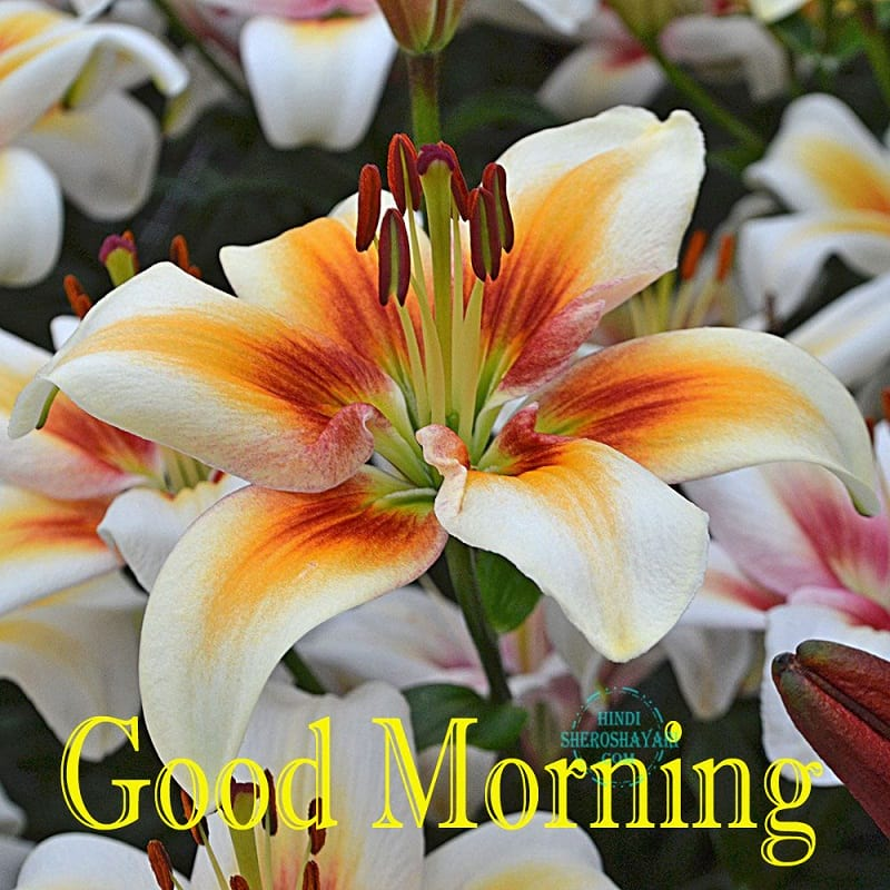 Good Morning Blessings With Lily Flowers