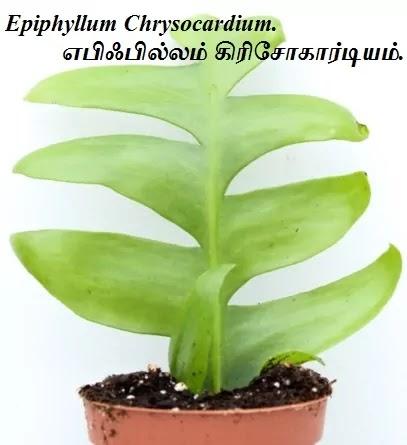 எபிஃபில்லம் பின் பத்து இனங்கள் - Secondary Top Ten Epiphyllum Specice.