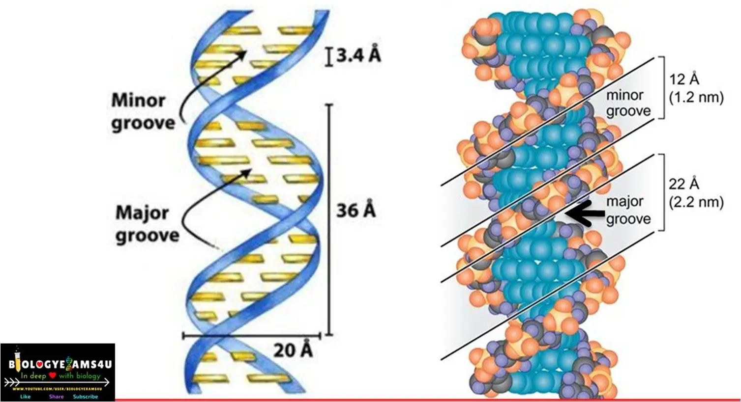 major groove and the minor groove DNA