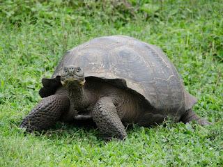 perbedaan-kura-kura-galapagos.jpg
