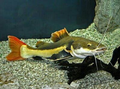 ikan catfish