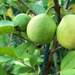 Suplier tanaman buah jambu