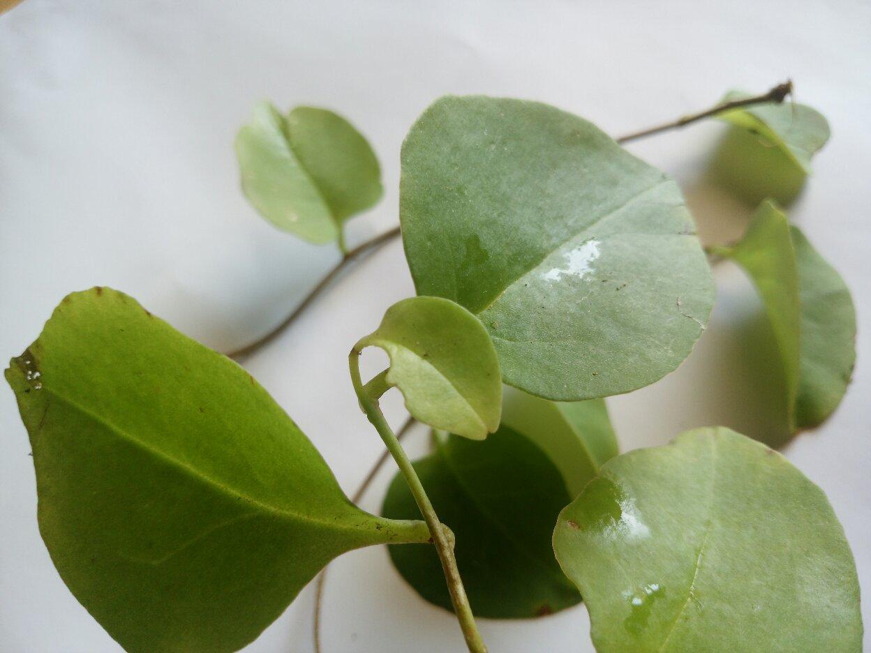 Khasiat daun binahong untuk pengobatan alami