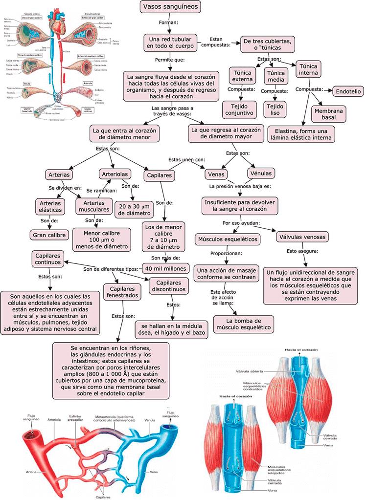 imagen de Mapa conceptual de los vasos sanguíneos
