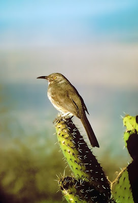 Photo of curve-billed Thrasher on a cactus