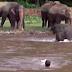 Як врятований людиною слон врятував свого рятівника (відео)