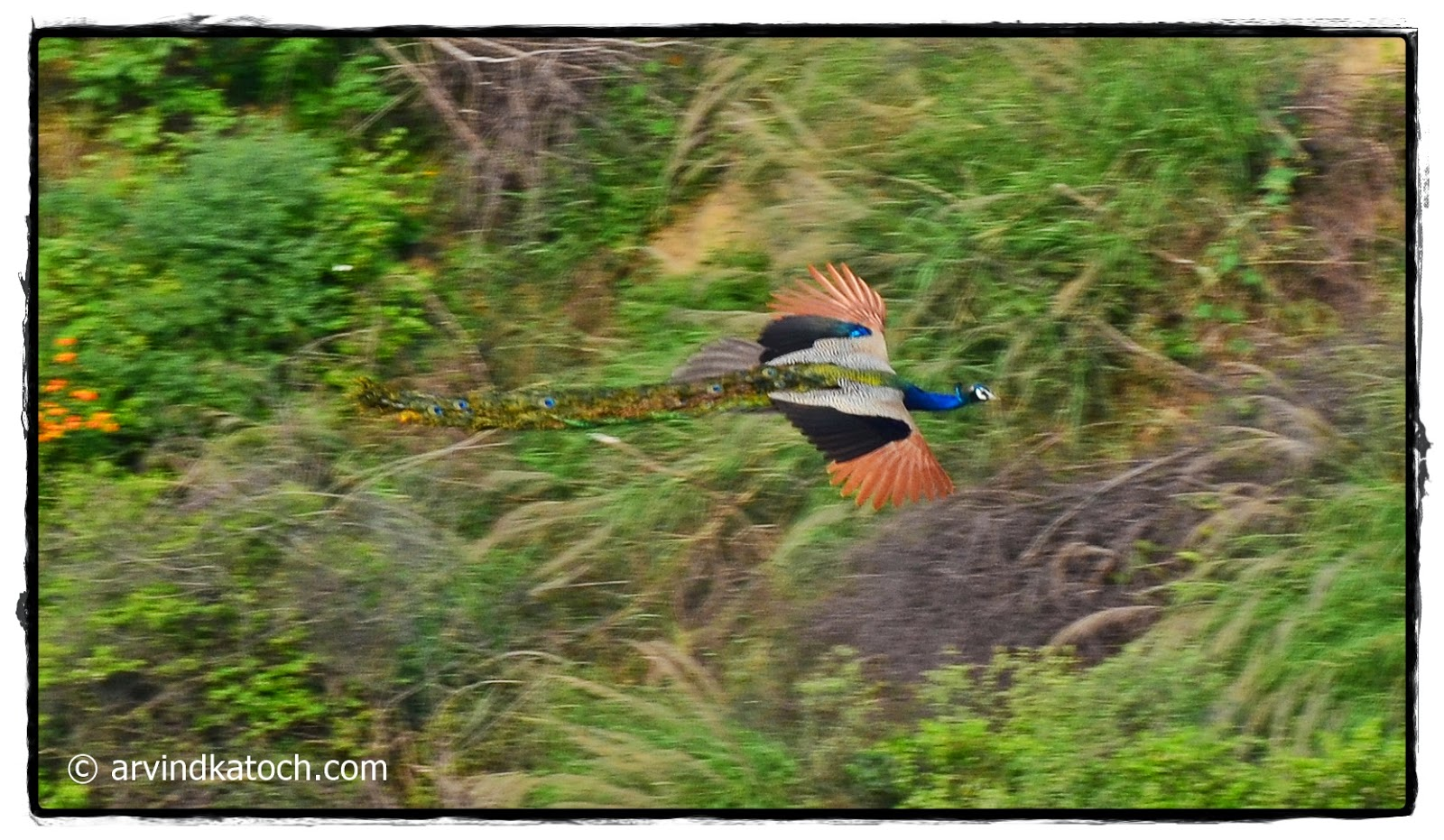 Peacock, Flight