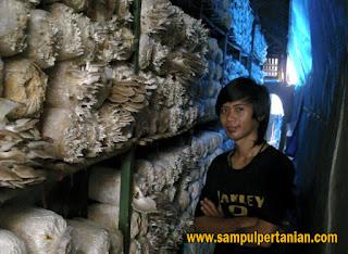Pemanfaatan ruang dengan budidaya jamur tiram (Pleurotus ostreatus)