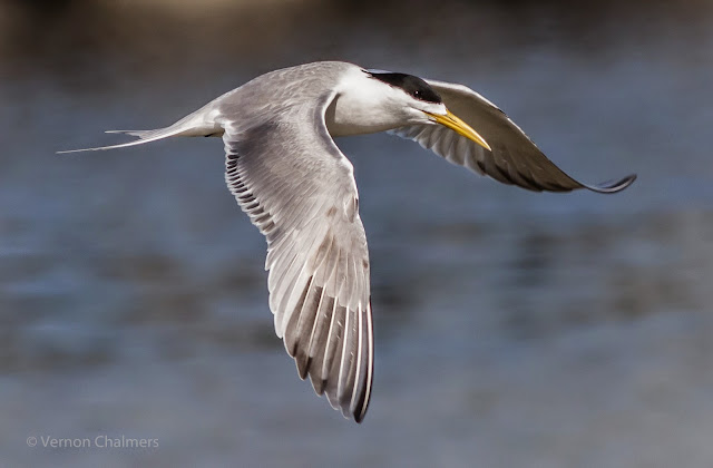 Swift Tern in Flight- Milnerton Lagoon / Woodbridge Island, Cape Town
