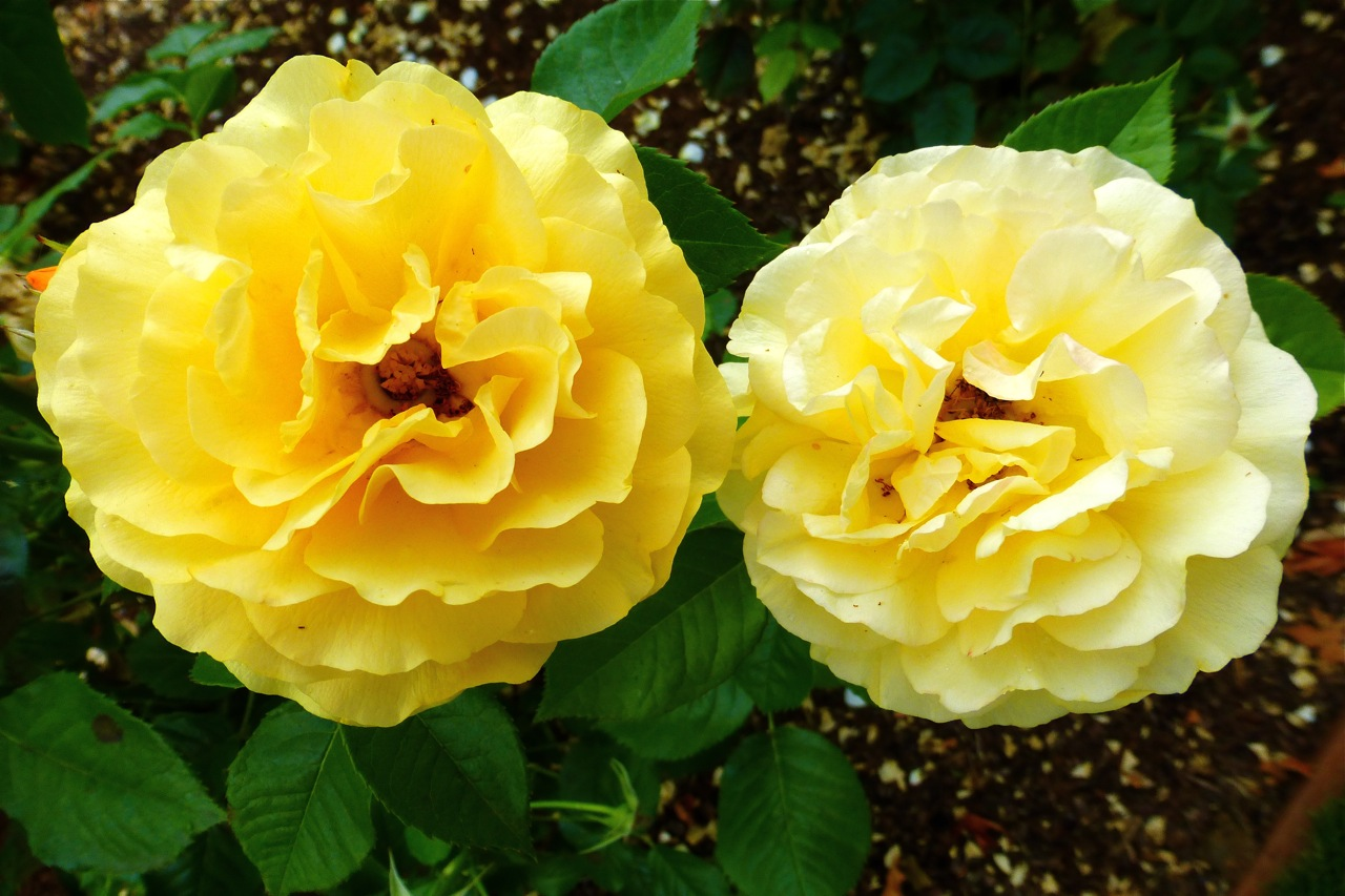 Owen Rose Garden, Julia Child rose, yellow rose, yellow roses, rose garden