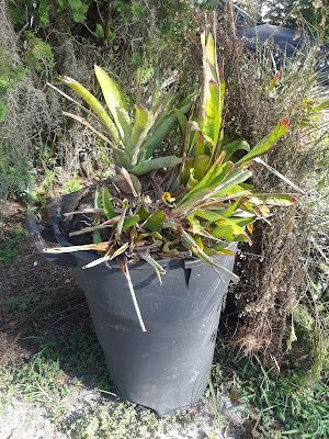 bromeliads in trash can