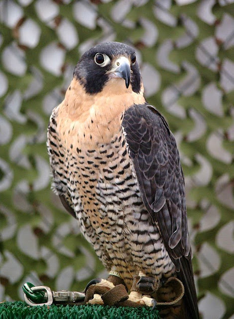 معلومات عن الشاهين ( الصقر الجوال )  Peregrine Falcon