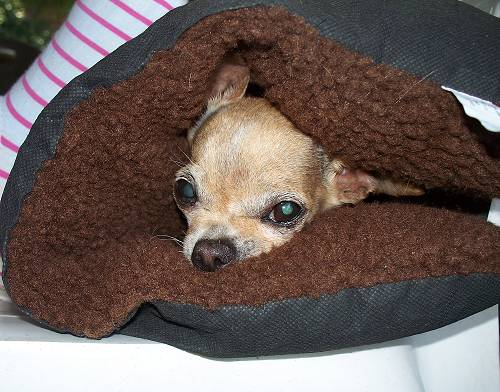 Chihuahua under pillow
