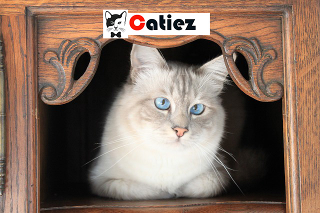Birman cat - all you want to know about Birman cats