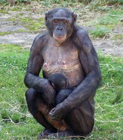 chimpance pigmeo Pan paniscus