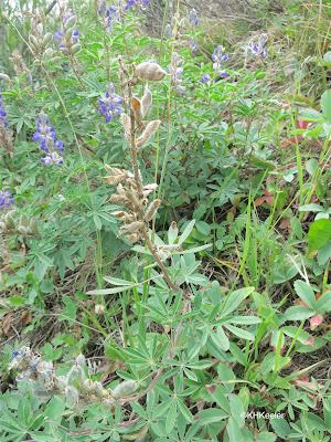 lupine with pods