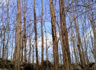 Pohon Jati Menggugurkan Daunnya untuk Mengurangi Penguwapan