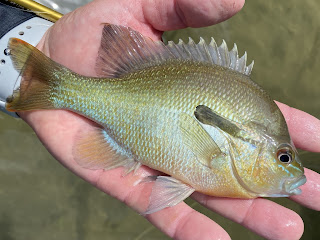 Redbreast Sunfish, Redbreast Sunfish on the Fly, Sunfish, Sunfish on the Fly, Sunfish of Texas, San Gabriel River, Georgetown, Texas, Fly Fishing, Fly Fishing Texas, Texas Fly Fishing, Texas Freshwater Fly Fishing, Fly Fishing the San Gabriel River
