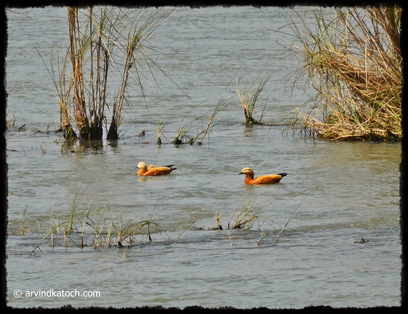 Ruddy Shelduck, Shelduck, Duck