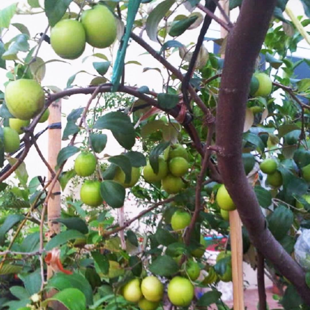 Bisa Beli Ecer! Bibit Buah Apel India 60 cm BIBIT TERBAIK Kota Jakarta #bibit buah langka