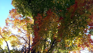 Sugar Maple Tree - Fall Foliage Splendour