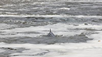 عناق حوتين وسط البحر مهددين بالانقراض