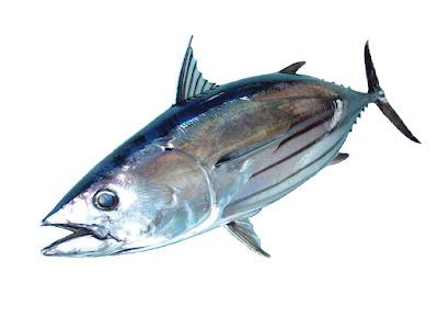 Gambar Ikan Bluefin Tuna