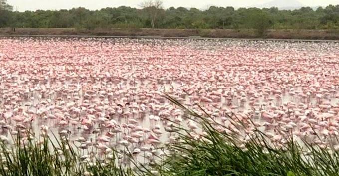 UFF : Más de mil flamencos posan en varios lagos de Mumbai
