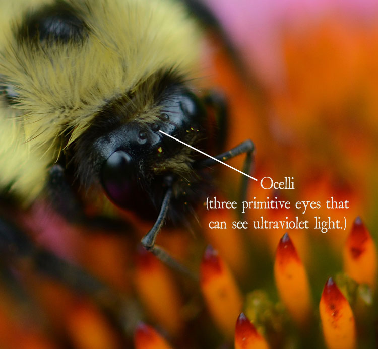 Ocelli (three primitive eyes) on a bumble bee