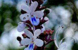 Blue Fountain Bush  (ब्लू फाउंटेन बुश)
