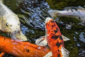 Hướng dẫn chăm sóc cá Koi