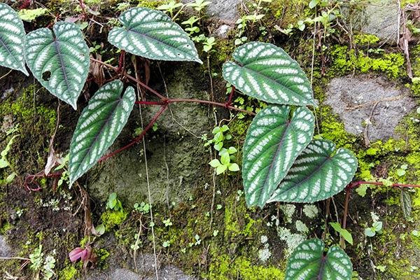 Dlium Begonia vine (Cissus discolor)