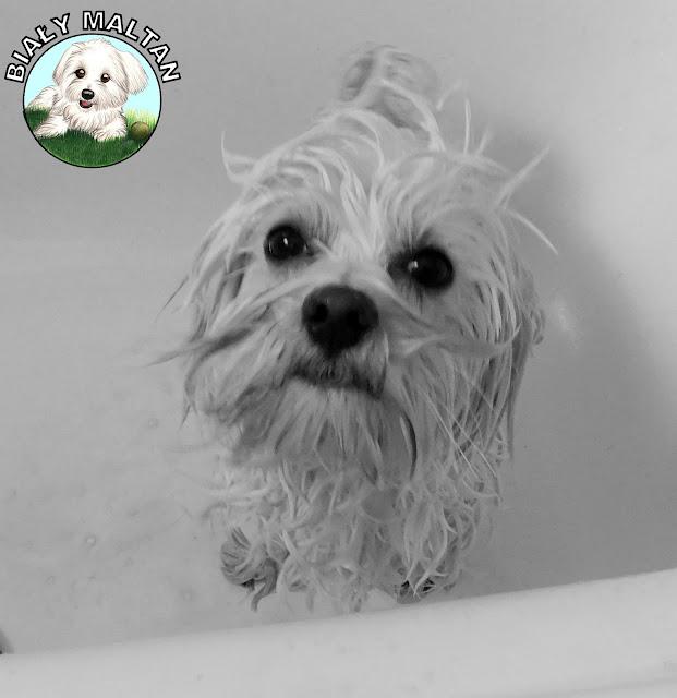 kąpiel psa maltańczyka